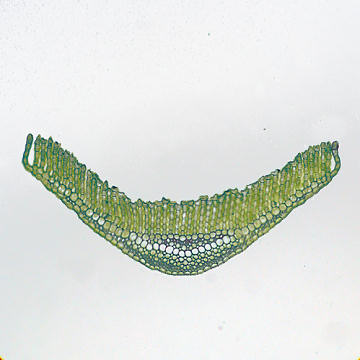 Polytrichum leaf cross section