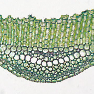 closeup of polytrichum leaf