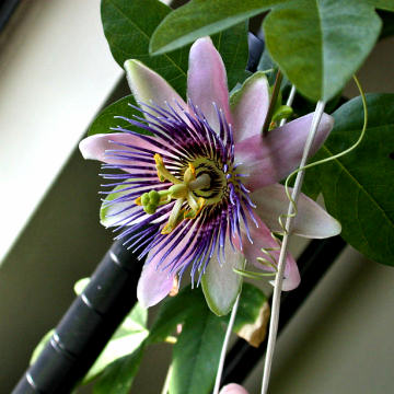 Passiflora x belotii