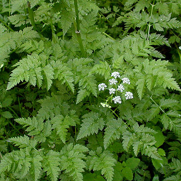 Poison Hemlock Leaves