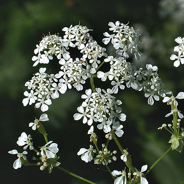 Closeup of Poison Hemlock Flowers