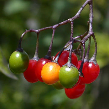 Bittersweet Nightshade Fruit