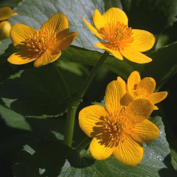 marsh_marigold.jpg