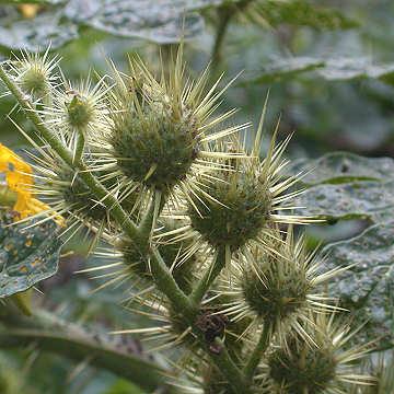 Solanum rostratum fruit
