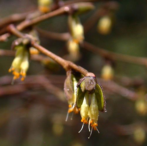 Leatherwood (Dirca palustris)