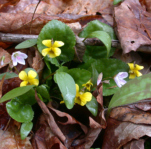 Round-leaved Yellow Violet and Spring Beauty