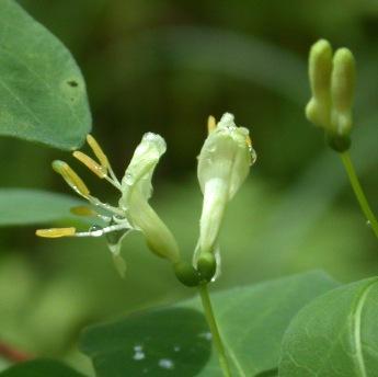 Lonicera_oblongifolia2