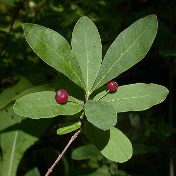Lonicera_oblongifolia5