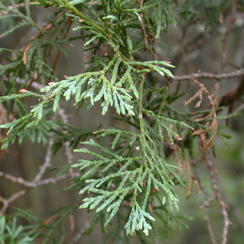 Atlantic White Cedar