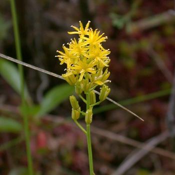 Narthecium americanum