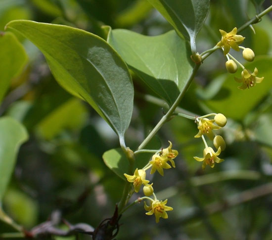 Smilax_rotundifolia1