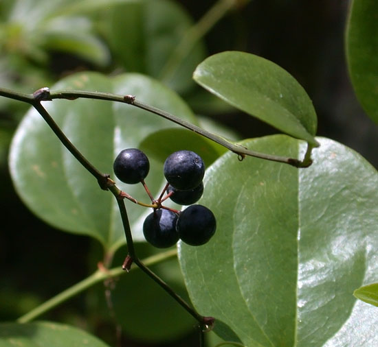Smilax_rotundifolia2