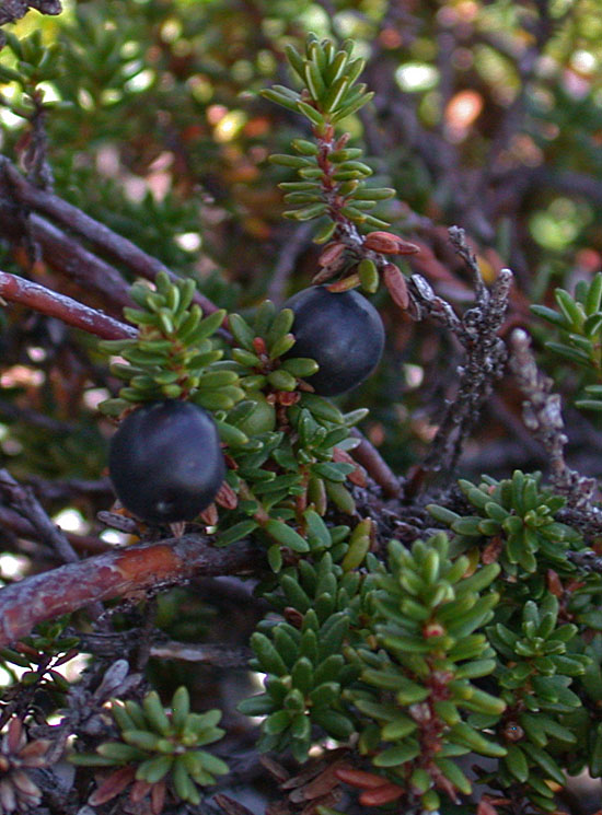 Black_crowberry