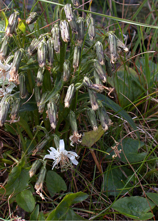 Prenanthes_boottii