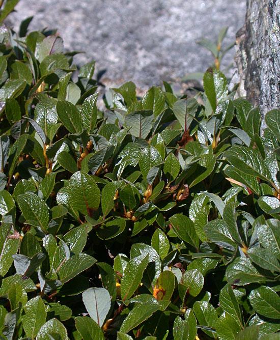 Salix_uva-ursi
