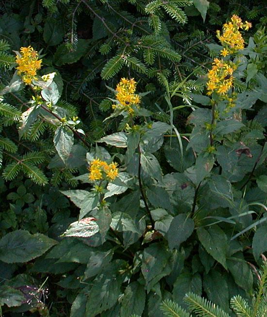 Solidago_macrophylla