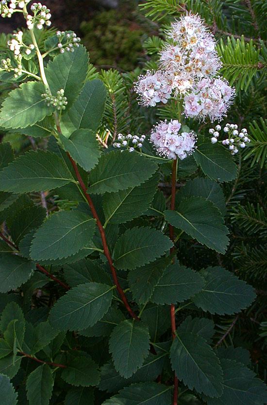 Spiraea_latifolia