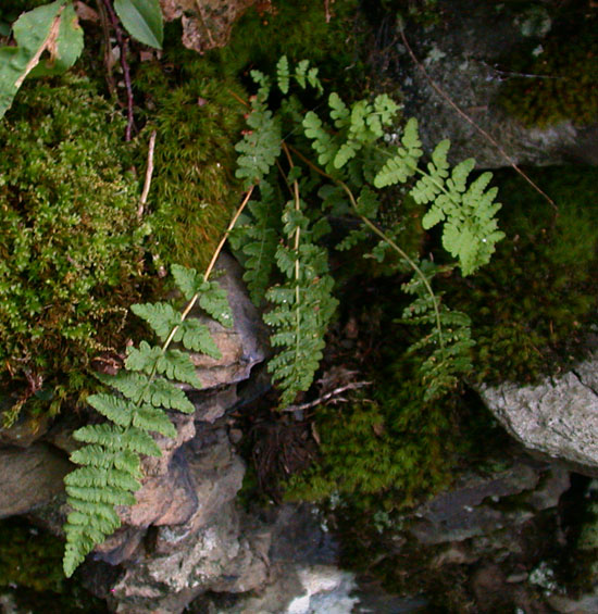 Woodsia_ilvensis2