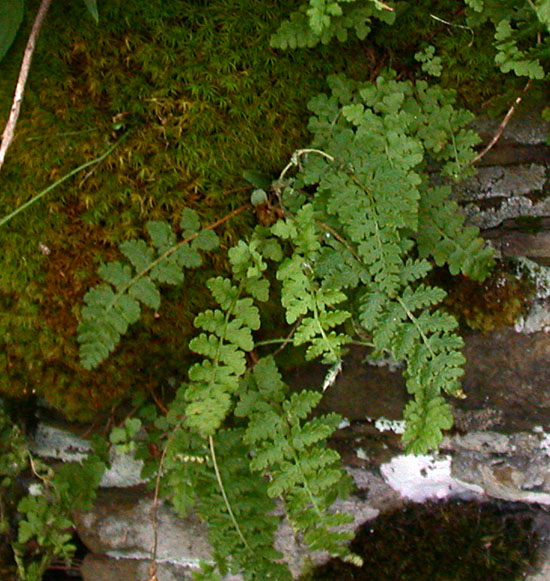 Woodsia_ilvensis3