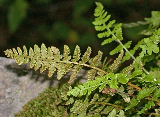 Woodsia_ilvensis4